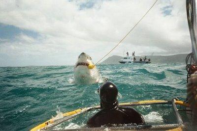 Buka Gambar » Foto » Ikan Hiu Terbesar Di Dunia Mfach