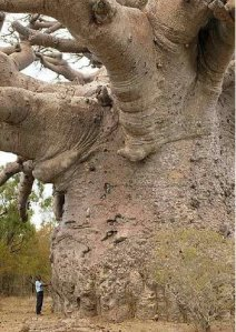 [pohon_baobab.jpg]