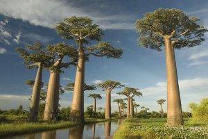 [pohon_baobab_2.jpg]